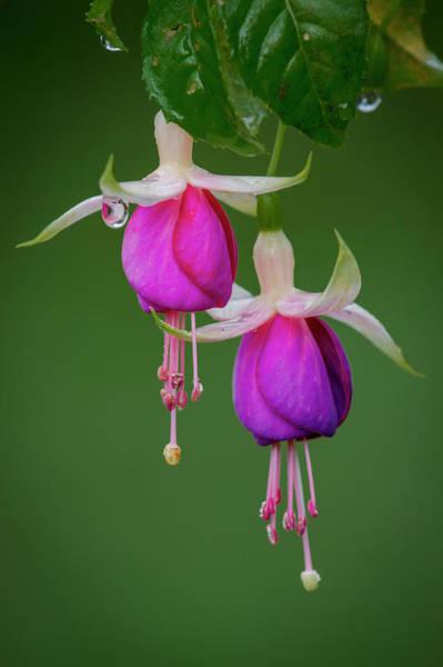 Photograph - Fuchsia Flower, Nuwara Eliya, 2012 by Hitendra SINKAR