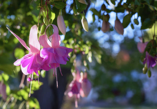Photograph - Fuchsia by Harold Coleman