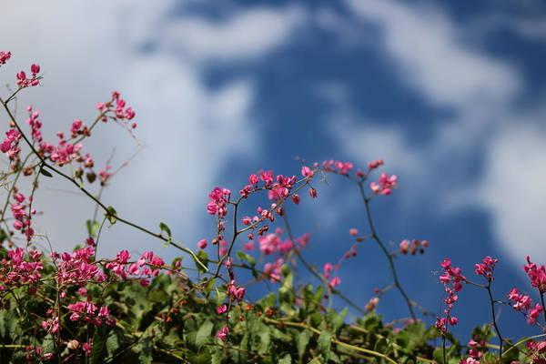 Photograph - Fuchsia Mexican Coral Vine On Desert Sky by Colleen Cornelius