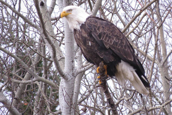 Photograph - Full Bald Eagle by Mary Mikawoz
