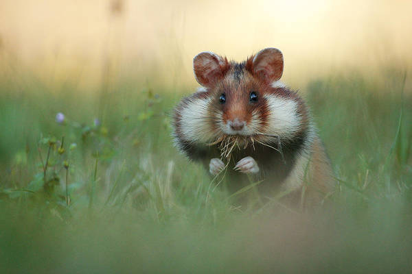 Hamster Photograph - Full Cheeks by Julian Rad