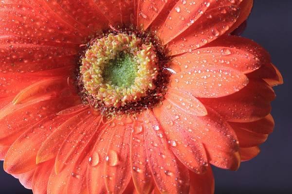 Photograph - Full Daisy Petals by Angela Murdock