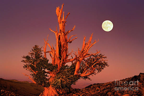 Photograph - Full Moon Behind Ancient Bristlecone Pine White Mountains California by Dave Welling
