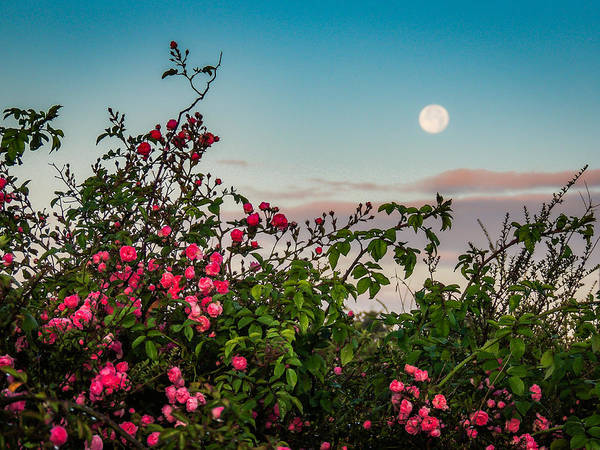Photograph - Full Moon Sets Over Wild Irish Roses In County Clare by James Truett