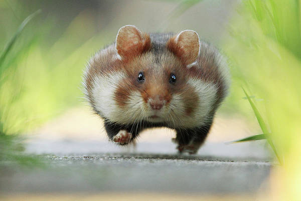 Hamster Photograph - Full Speed by Julian Rad