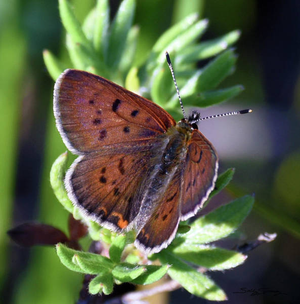 Photograph - Full Winged Copper Butterfly by Sally Sperry