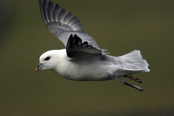 Photograph - Fulmar In Flight by Tony Mills