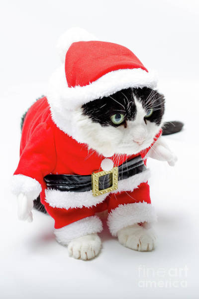 Photograph - funny Christmas kitten by Benny Marty