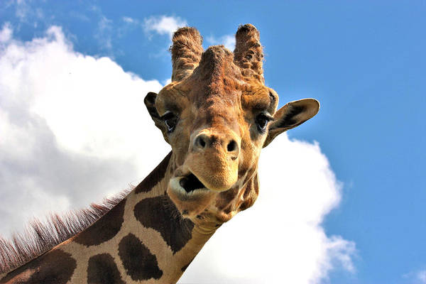 Photograph - Funny Face Giraffe by Sheila Brown