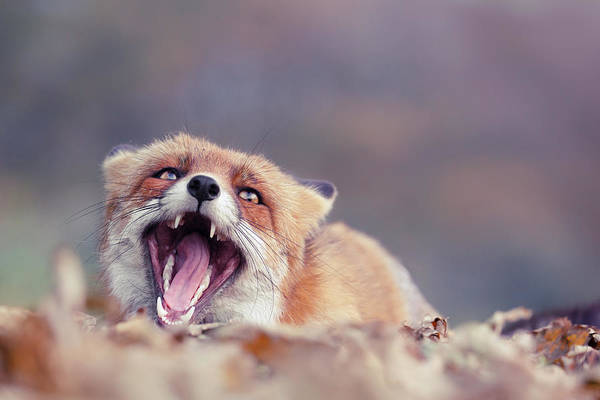 Cute Overload Photograph - Funny Fox Series - Screaming Fox by Roeselien Raimond