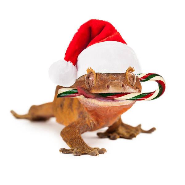 Wall Art - Photograph - Funny Lizard Eating Christmas Candy Cane by Susan Schmitz