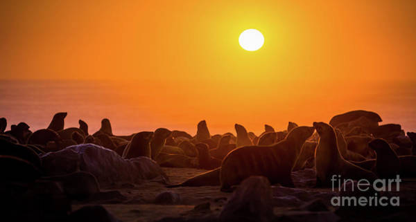 Wall Art - Photograph - Fur Seal Colony by Inge Johnsson
