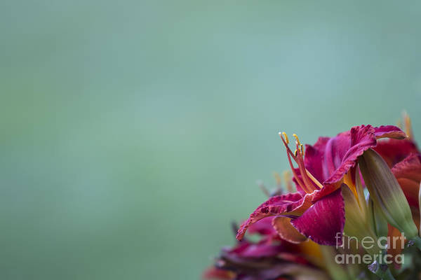 Photograph - Fuchsia In Bloom by Andrea Silies