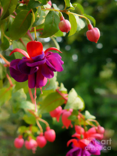 Photograph - Fuschia by Jeff Breiman