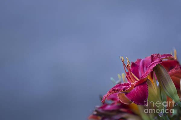 Photograph - Fuchsia On Slate by Andrea Silies