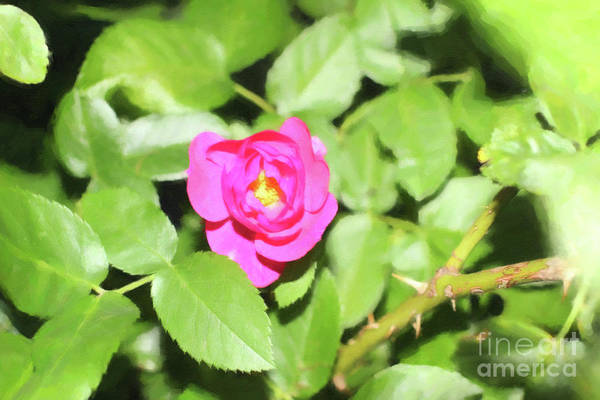 Digital Art - Fuschia Rose Paint by Donna L Munro