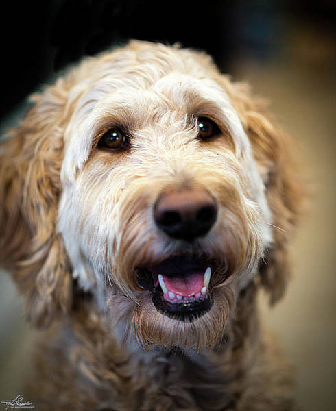 Photograph - Golden Doodle by Philip Rispin