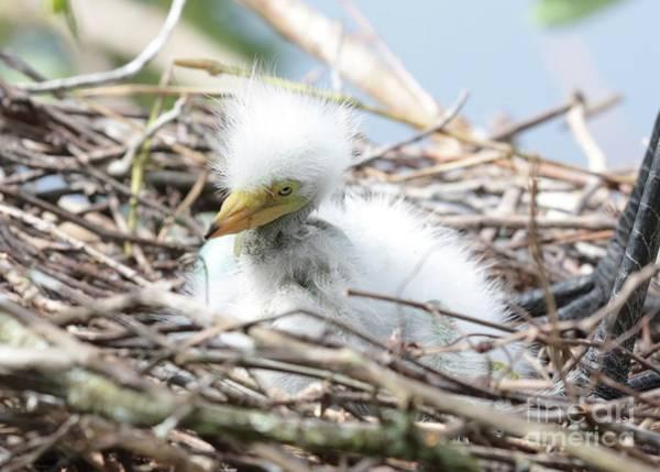Photograph - Fuzzy Great Egret Nestling by Carol Groenen