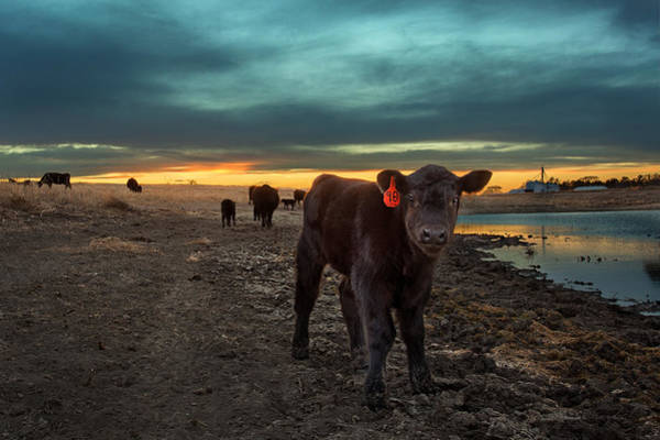Baby Cow Photograph - Fuzzy by Thomas Zimmerman