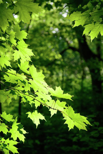 Photograph - Fx10a-2238 Maple Tree by Ohio Stock Photography
