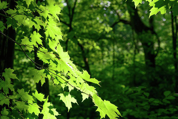 Photograph - Fx10a-2239 Maple Tree by Ohio Stock Photography