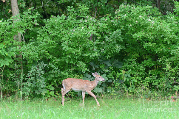Photograph - Fx115a-3 White Tailed Deer by Ohio Stock Photography
