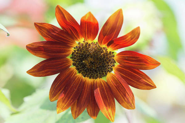 Photograph - Fx1m-81 Sunflower by Ohio Stock Photography
