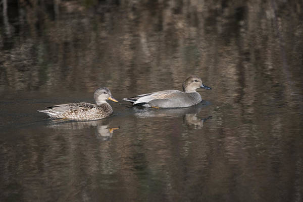 Photograph - Gadwall Couple by Robert Potts