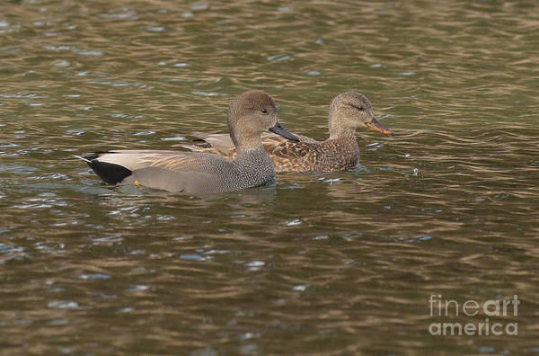 Photograph - Gadwall Pair by Charles Owens