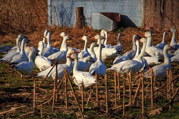 Photograph - Gaggle Of Snow Geese At Frankford, Delaware by Bill Swartwout Photography