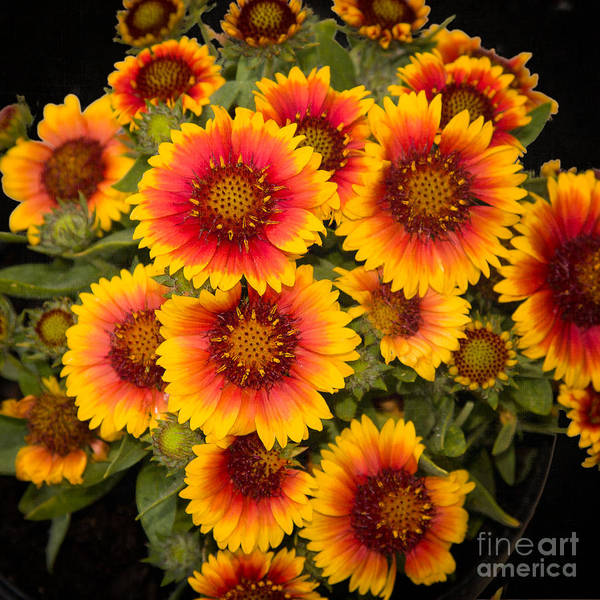 Photograph - Gaillardia by Ann Jacobson