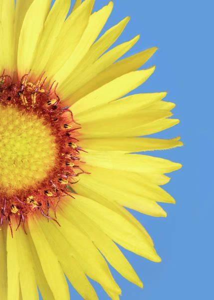Photograph -   Gaillardia Aristata   Blanketflower by Jim Hughes