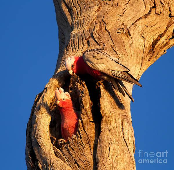 Australian Wildlife Wall Art - Photograph - Galahs by Bill  Robinson