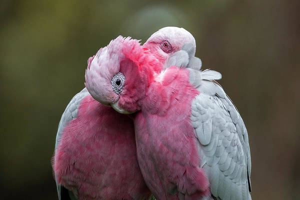 Photograph - Galahs by Diana Andersen
