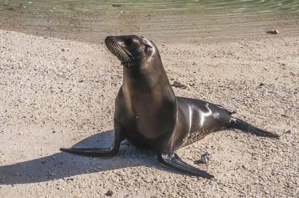 Galapagos Sea Lion Art Print
