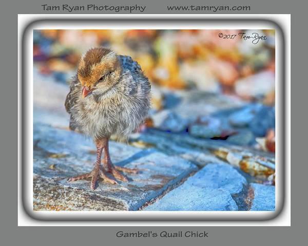 Photograph - Gambel's Quail Chick  by Tam Ryan