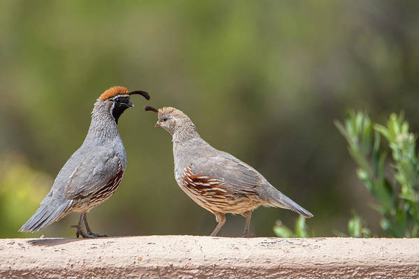 Photograph - Gambel's Quail Couple by Dan McManus