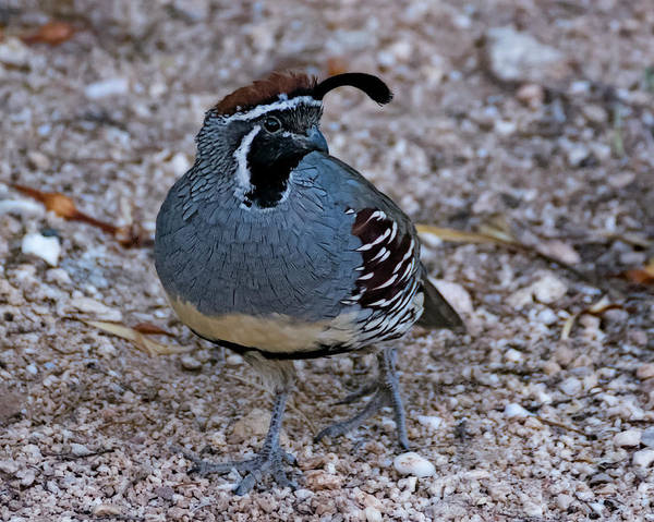 Photograph - Gambel's Quail H31 by Mark Myhaver