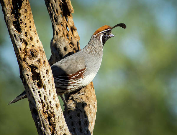 Photograph - Gambels Quail On Cholla by Judi Dressler