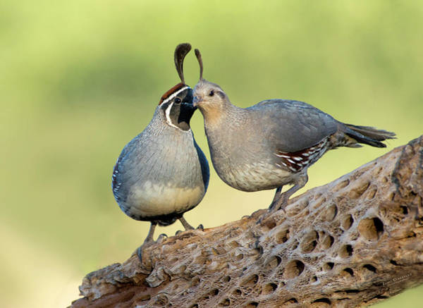 Photograph - Gambels Quails In Love by Judi Dressler