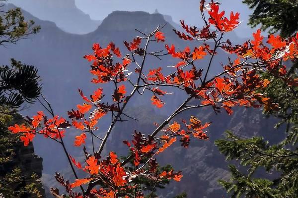 Photograph - Gamble Oak In Crimson Fall Splendor by NaturesPix