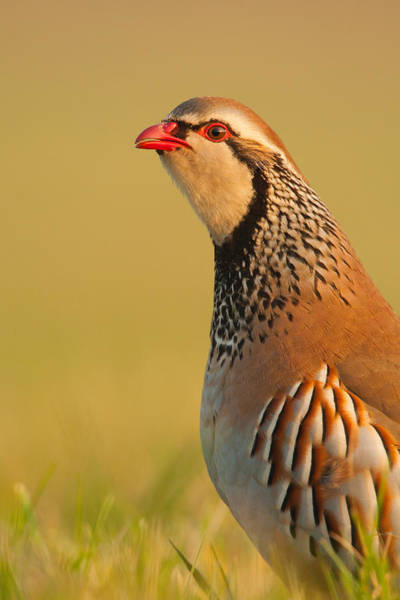Photograph - Game Bird by Simon Litten