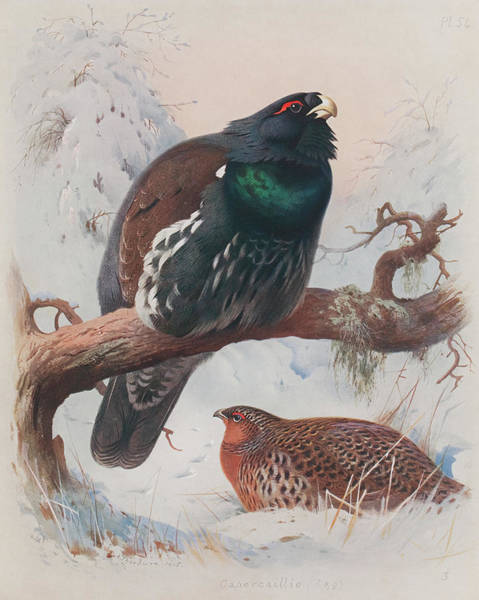 Wall Art - Painting - Game Birds And Wild-fowl  by Archibald Thorburn