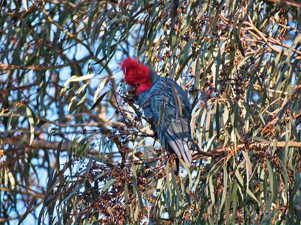 Photograph - Gang Gang Cockatoo - Canberra - Australia by Steven Ralser