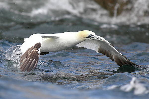 Sea Life Digital Art - Gannet - Missed Catch by Pat Speirs