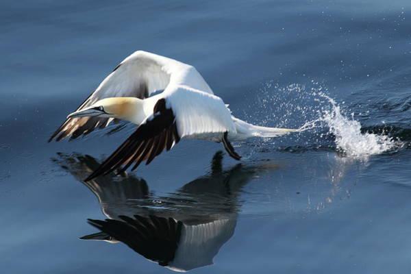 Sea Life Digital Art - Gannet - Take Off by Pat Speirs