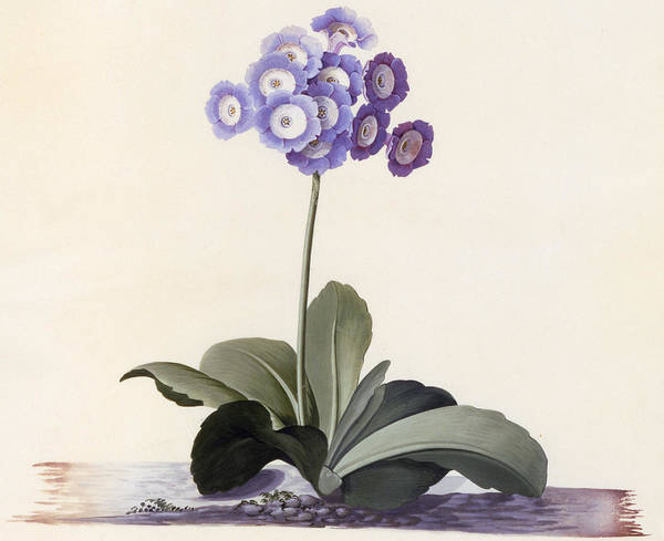 Wall Art - Painting - Garden Auricula by Georg Dionysius Ehret