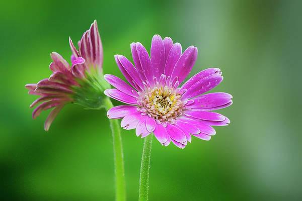 Gerbera Daisy Photograph - Garden Beauty by Robert Fawcett