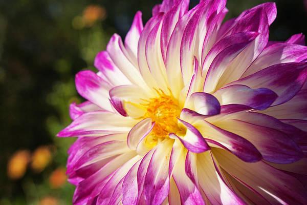 Wall Art - Photograph - Garden Dahlia Flower Fine Art Prints by Baslee Troutman Garden Art Prints