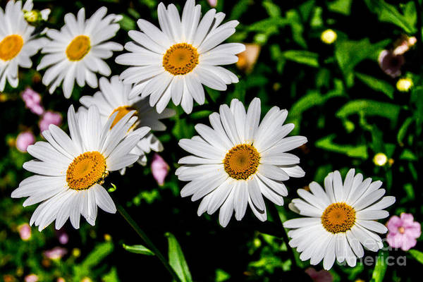 Photograph - Garden Daisies by William Norton
